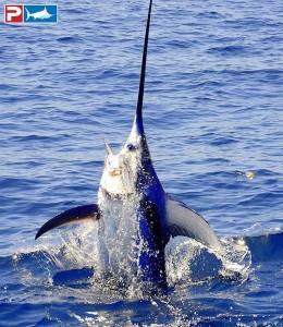 Daytime Swordfishing - swordfish jumps - swordfishing action photos